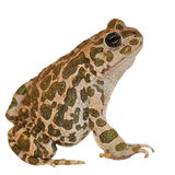 Toad on white background Royalty Free Stock Photos