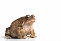 Toad. A toad on a white background royalty free stock image