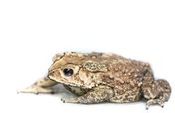 Toad on white background Royalty Free Stock Images
