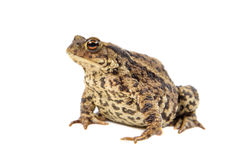 Toad on white Stock Photography