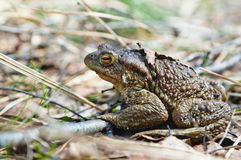 Toad who has woken up after hibernation Royalty Free Stock Photos