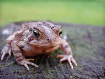 Toad on wood Stock Image