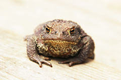 Toad Stock Photography