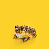 A Toad on a yellow background. A studio shot of a toad on a yellow background Stock Photo