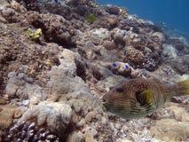 Toadfish Royalty-vrije Stock Foto's