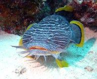 Toadfish splendide Image libre de droits