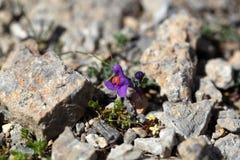 Toadflax alpino & x28; Alpina di Linaria & x29; Fotografia Stock Libera da Diritti