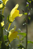Toadflax commun Image stock