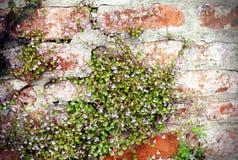 toadflax Edera-leaved (muralis di Cymbalaria) immagine stock