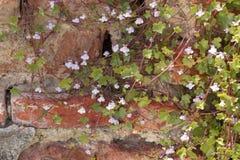 toadflax Edera-leaved; Muralis di Cymbalaria) immagini stock