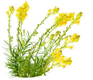 Toadflax (Linaria vulgaris) Royalty Free Stock Photos