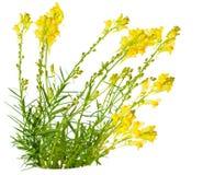 Toadflax (Linaria vulgaris) Royalty Free Stock Photos