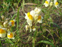 Toadflax Linaria vulgaris Obrazy Stock