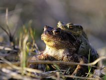 Toads Royalty Free Stock Photography