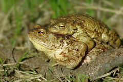 Toads Stock Image