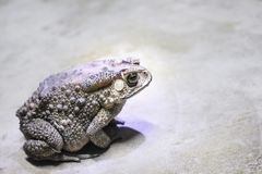 Toads with bumpy skin and sitting on the floor , amphibians. Close up Toads with bumpy skin and sitting on the floor , amphibians stock photos