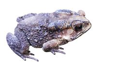 Toads with bumpy skin and sitting on the floor , amphibians isolated on white background with clipping path. Close up Toads with bumpy skin and sitting on the royalty free stock photo