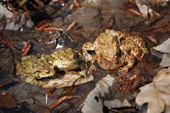 Toads family Royalty Free Stock Images