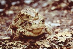 Toads on the lake royalty free stock photography