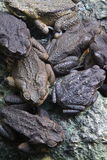 Toads Stock Photo