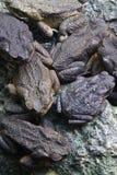Toads Stock Photo