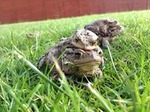 Toads. Stock Photography