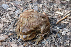 Toads in love Stock Images