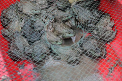 Toads at market Stock Image
