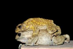 Toads mating royalty free stock photo