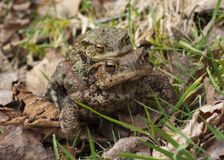 Toads mating Stock Image