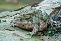 Toads in mating Stock Images