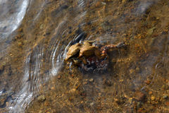 Toads in mating. The two toads are mating in the water Stock Photography