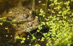 Toads mating Stock Photos