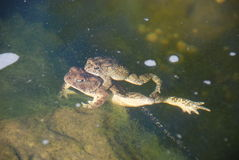 Toads mating Stock Photo