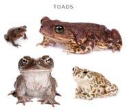 Toads set on white Royalty Free Stock Photos