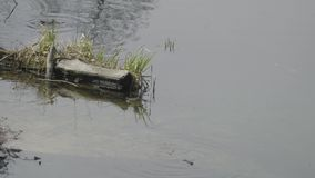 Toads swim in the pond near the log.  stock video footage