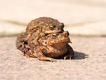 Toads on their way to spawning Royalty Free Stock Photography