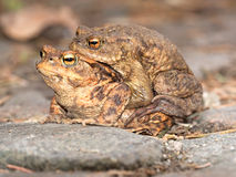 Toads on their way to spawning Royalty Free Stock Image
