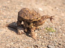 Toads on their way to spawning Stock Photos