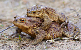 Toads together love Stock Images