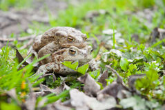 Toads. Two toads copulating at the grass Stock Photo