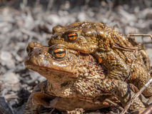 Toads Royalty Free Stock Photos