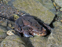 Toads underwater, mating in stream, with spawn. Bufo bufo. Springtime. Note - they are underwater in flowing water so photo inevitably lacks a degree of focus Royalty Free Stock Images