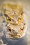 Toads in water, Bufo bufo. Close up of mating toads, Bufo bufo, in a pond Stock Image