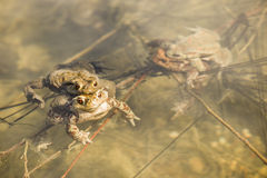Toads in water, Bufo bufo. Close up of mating toads, Bufo bufo, in a pond Stock Photo