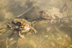 Toads in water, Bufo bufo Stock Photo