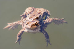 Toads in water - pairing Stock Image