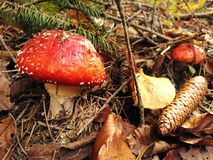 Toadsool i skogen Royaltyfria Bilder