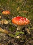 Toadstool à la forêt photo libre de droits