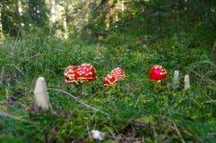 Toadstool αγαρικών μυγών, Amanita οικογένεια muscaria στο βρύο Στοκ εικόνες με δικαίωμα ελεύθερης χρήσης